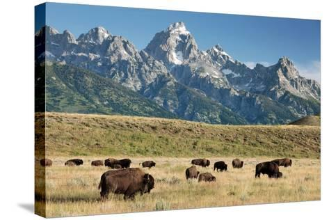 Herd of American Bison-Bob Gibbons-Stretched Canvas Print