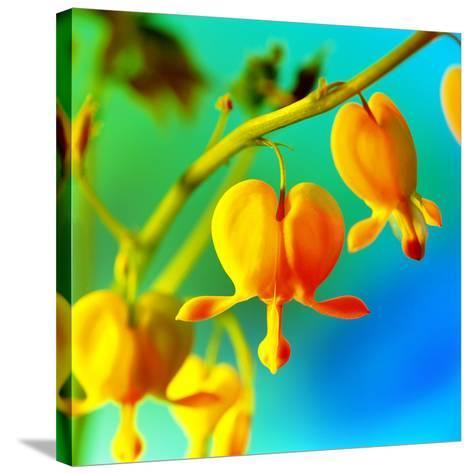 Bleeding Heart (Dicentra Sp.)-Johnny Greig-Stretched Canvas Print