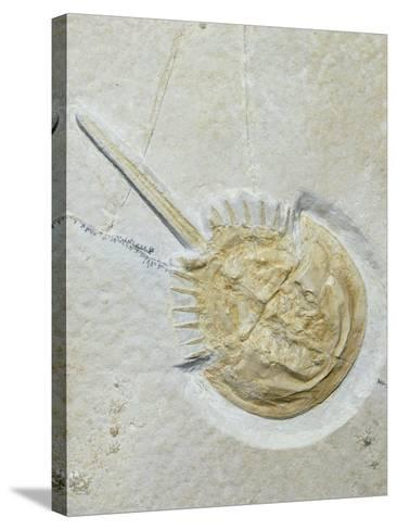 Fossilised Horseshoe Crab-Volker Steger-Stretched Canvas Print