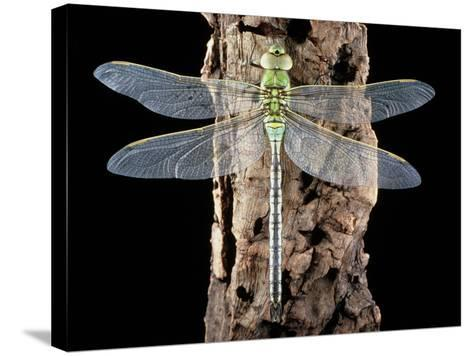 Emperor Dragonfly, Anax Imperator-Sinclair Stammers-Stretched Canvas Print