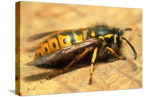 A Common Adult Worker Wasp, Vespula Vulgaris-Sinclair Stammers-Stretched Canvas Print