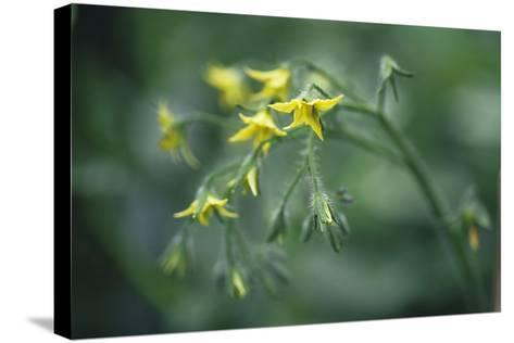 Tomato Plant Flowers-Duncan Smith-Stretched Canvas Print