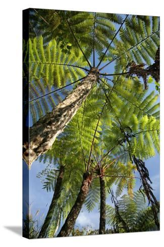 Tree Fern-Bjorn Svensson-Stretched Canvas Print