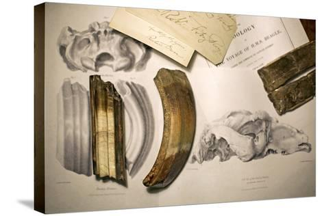 1838 Toxodon Teeth & Figs. From Darwin C-Paul Stewart-Stretched Canvas Print
