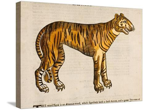 1607 Tiger by Topsell-Paul Stewart-Stretched Canvas Print