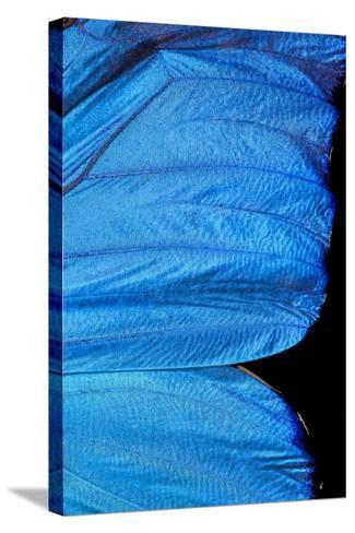 Blue Morpho Butterfly Wing-Paul Stewart-Stretched Canvas Print