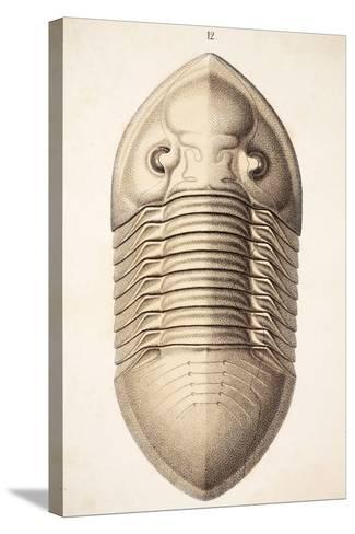 1846 Victorian Trilobite Platycephalus-Paul Stewart-Stretched Canvas Print