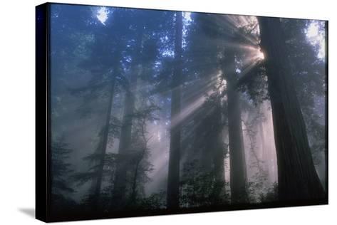 Light Coming Through Redwood Trees.-Kaj Svensson-Stretched Canvas Print