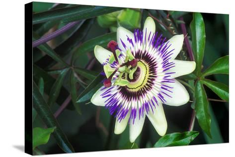 Passion Flower (Passiflora Sp.)-Kaj Svensson-Stretched Canvas Print