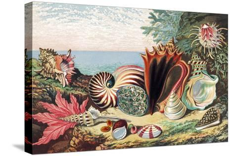 Sea Shells-Sheila Terry-Stretched Canvas Print