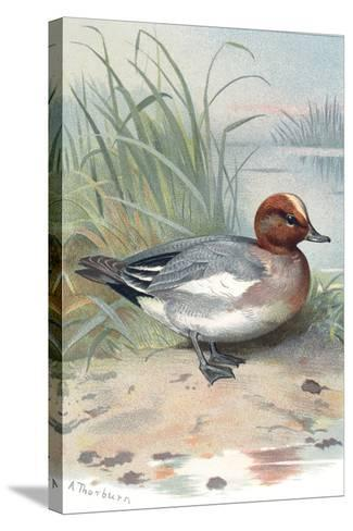 Widgeon, Historical Artwork-Sheila Terry-Stretched Canvas Print