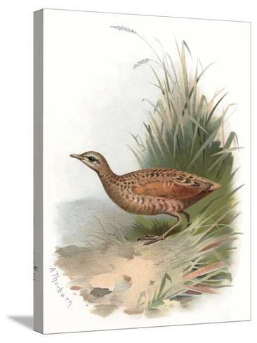 Corncrake, Historical Artwork-Sheila Terry-Stretched Canvas Print