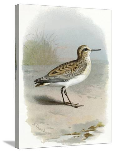 Little Stint, Historical Artwork-Sheila Terry-Stretched Canvas Print