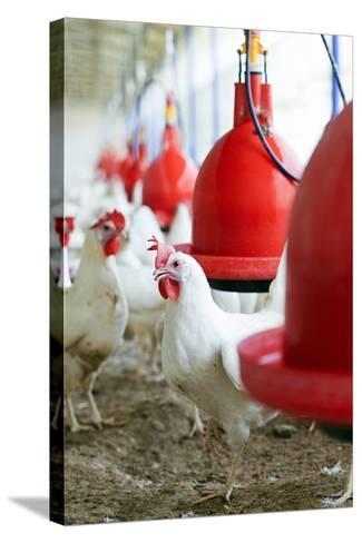 Organic Chicken Farming--Stretched Canvas Print