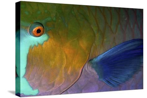 Rusty Parrotfish--Stretched Canvas Print