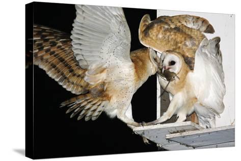 Barn Owls Feeding on a Rat--Stretched Canvas Print