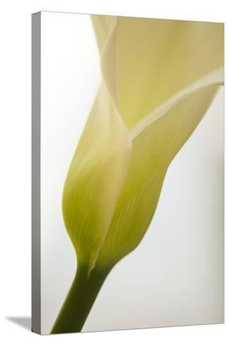 Calla Lily (Zantedeschia Aethiopica)-Maria Mosolova-Stretched Canvas Print
