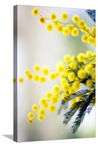 Mimosa (Acacia Dealbata)-Maria Mosolova-Stretched Canvas Print