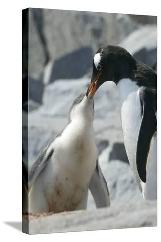 Gentoo Penguin Feeding Chick-Louise Murray-Stretched Canvas Print