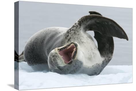 Leopard Seal-Louise Murray-Stretched Canvas Print