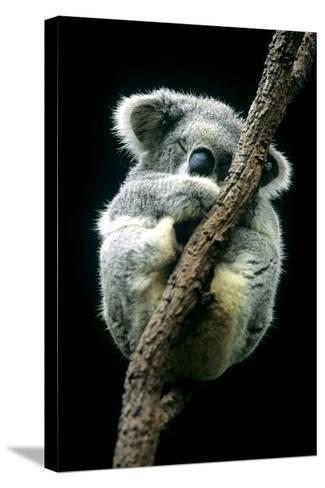 Koala Sleeping-Louise Murray-Stretched Canvas Print