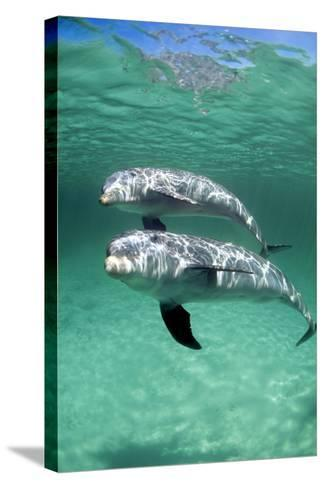 Bottlenose Dolphins-Louise Murray-Stretched Canvas Print