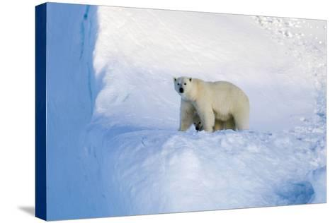 Polar Bear Mother And Cub-Louise Murray-Stretched Canvas Print