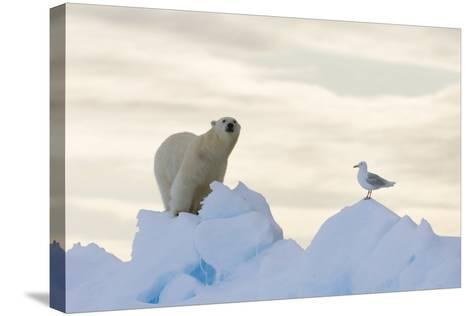 Polar Bear And Seagull-Louise Murray-Stretched Canvas Print