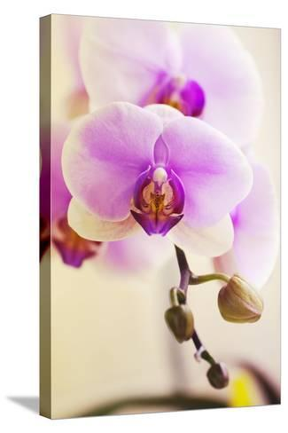 Phalaenopsis Hinamatsuri 'Blushing Bride'-Maria Mosolova-Stretched Canvas Print