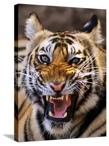 Bengal Tiger (Panthera Tigris)-Louise Murray-Stretched Canvas Print