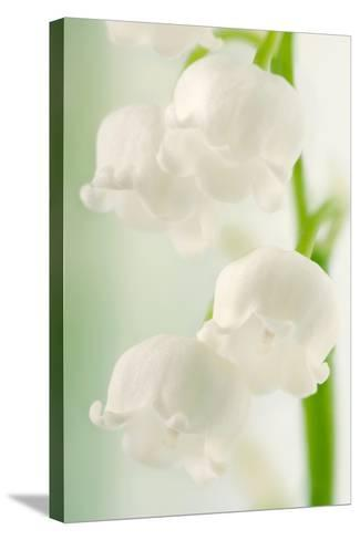 Lily of the Valley (Convallaria Majalis)-Maria Mosolova-Stretched Canvas Print