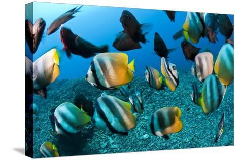 Tropical Reef Fish-Matthew Oldfield-Stretched Canvas Print