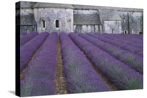Field of Lavender-David Nunuk-Stretched Canvas Print