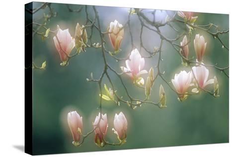 Magnolia In Flower-David Nunuk-Stretched Canvas Print