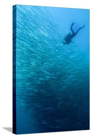 School of Chevron Barracuda-Matthew Oldfield-Stretched Canvas Print