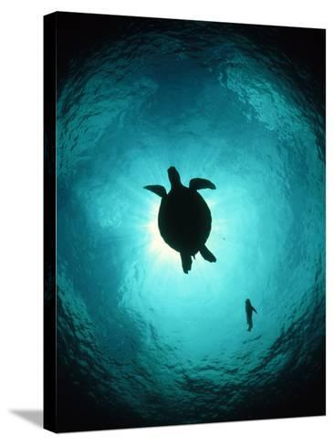 Turtle Swimming-Matthew Oldfield-Stretched Canvas Print