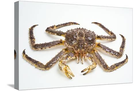 Red King Crab-David Nunuk-Stretched Canvas Print