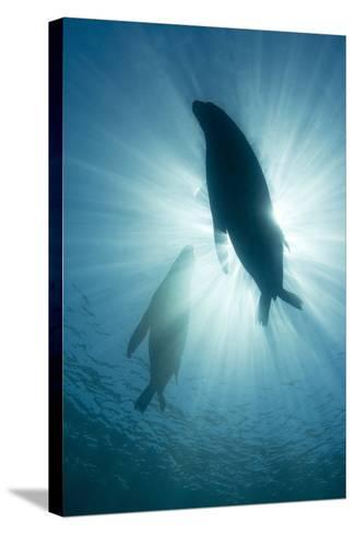 Australian Sea Lions-Matthew Oldfield-Stretched Canvas Print