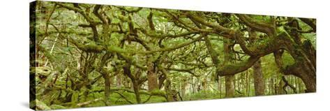 Moss-covered Trees-David Nunuk-Stretched Canvas Print