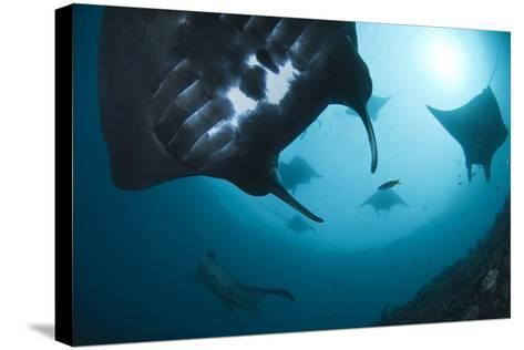 Manta Rays-Matthew Oldfield-Stretched Canvas Print
