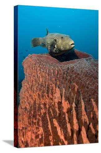 Map Pufferfish-Matthew Oldfield-Stretched Canvas Print
