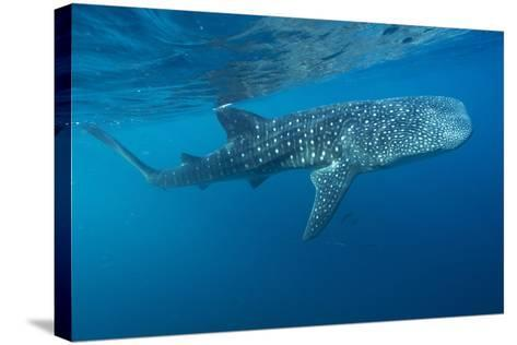 Whale Shark-Alexis Rosenfeld-Stretched Canvas Print