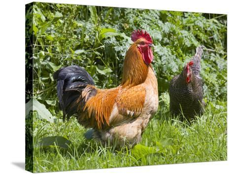 Free-range Chickens-Paul Rapson-Stretched Canvas Print