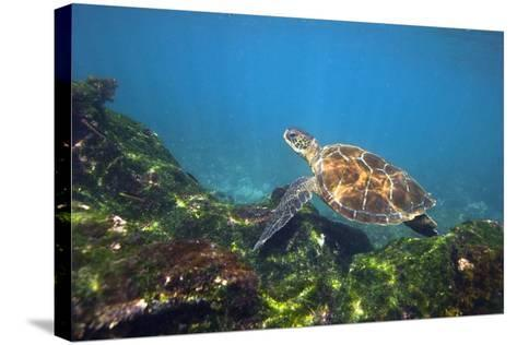 Green Sea Turtle-Peter Scoones-Stretched Canvas Print