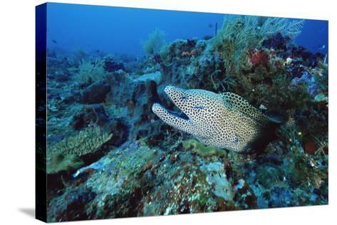 Laced Moray-Alexis Rosenfeld-Stretched Canvas Print