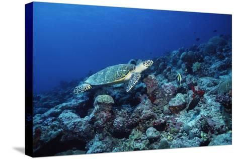 Hawksbill Turtle-Alexis Rosenfeld-Stretched Canvas Print