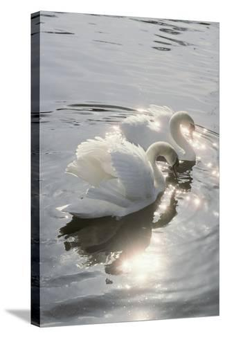 Mute Swans-Peter Scoones-Stretched Canvas Print