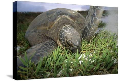 Green Turtle on a Beach-Alexis Rosenfeld-Stretched Canvas Print