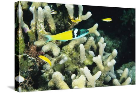 Bluehead Wrasse-Alexis Rosenfeld-Stretched Canvas Print