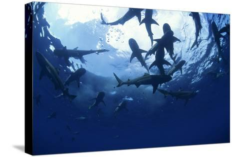 Blacktip Reef Sharks-Alexis Rosenfeld-Stretched Canvas Print